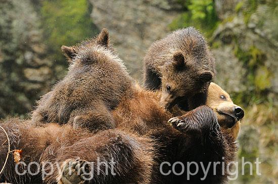 Säugendes Braunbär-Weibchen mit zwei Jungbären, 3 Monate alt