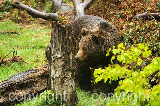 Kapitaler männlicher Braunbär in der Wildnis
