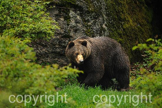 Kapitaler Braunbär vor seiner Winterhöhle, im Frühling