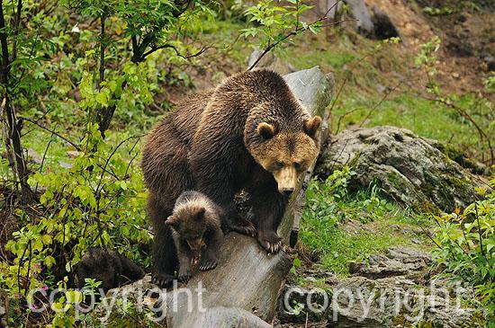Braunbär-Weibchen mit 3 Monate alten Junbären im Frühling