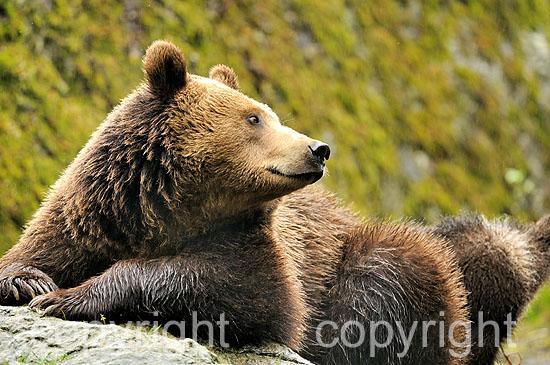 Zufrieden ruhendes Braunbär-Weibchen