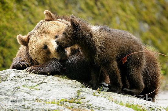 Schmusendes drei Monate altes Bärenjunge mit seiner Mutter