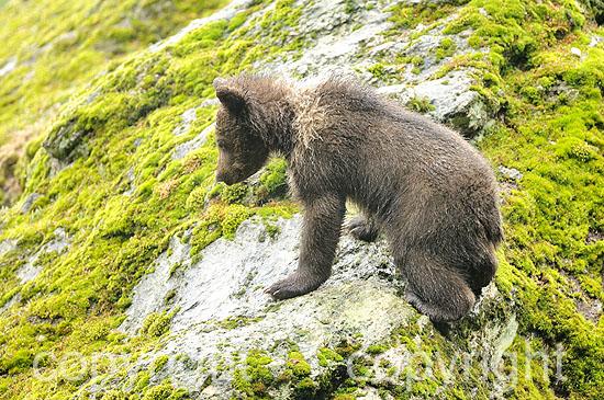 3 Monate altes Bärenjunge im Frühling