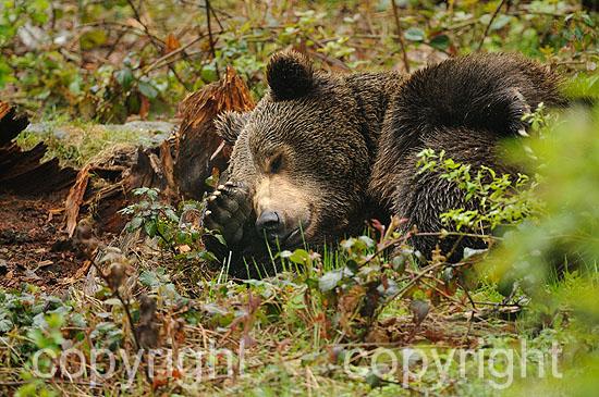 Ruhender Braunbär im Frühling