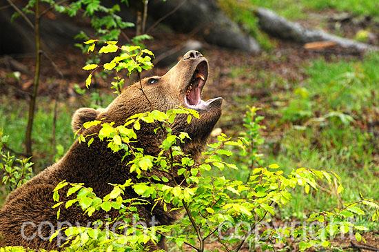 Gähnender Braunbär im Frühjahrsbewuchs