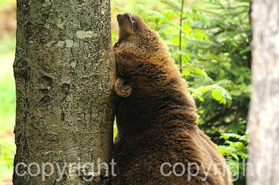 Sich am Baum reibender Braunbär, stehend