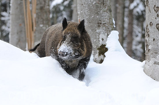 Wildschwein-Keiler auf dem Wechsel im Tiefschnee