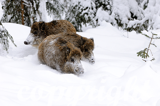 Abgesprengte Wildschwein-Überläufer pflügen sich durch den Ti
