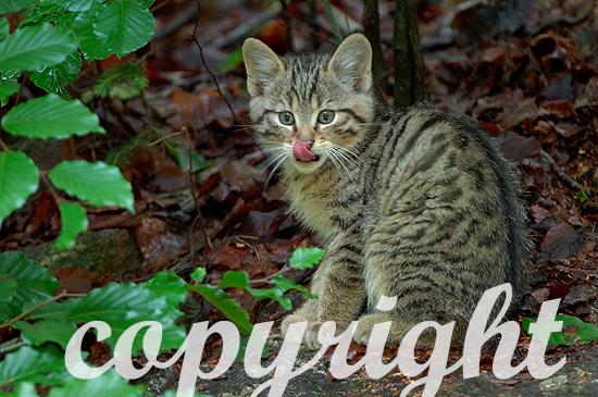 Junge Wildkatzen im April sind noch sehr verspielt