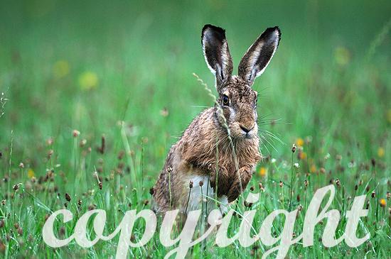 Hase, Feldhase im taunassen Gras am frühen Morgen springed in G