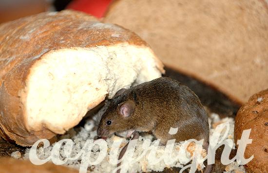 Hausmaus guckt aus altem Brotlaib