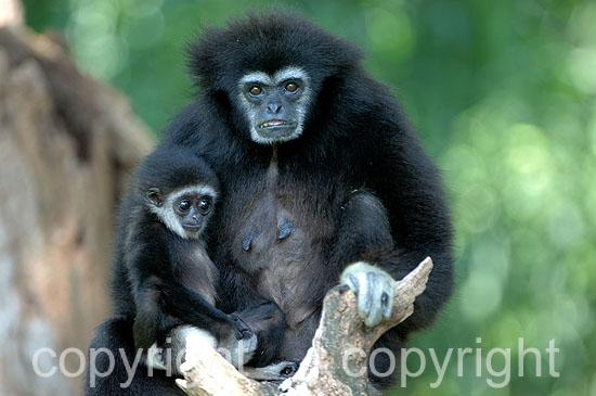 Gibbon - Hylobatidae