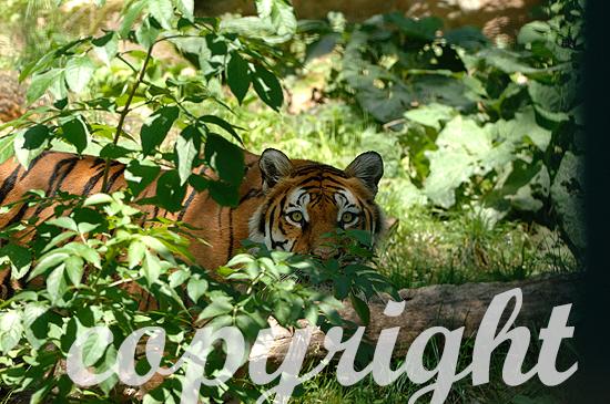 Amur- oder Sibirischer Tiger - Panthera tigris altaica