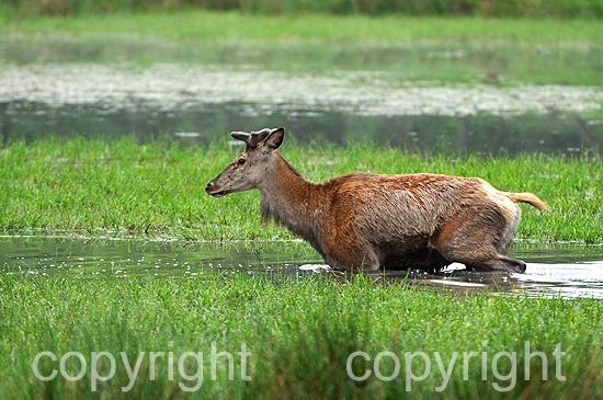 Europäische Hirsche, Rothirsch im Frühling