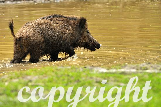 Wildschweine im Waldweiher