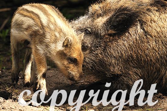 Wildschwein-Frischlinge beim Säugen im Frühjahr
