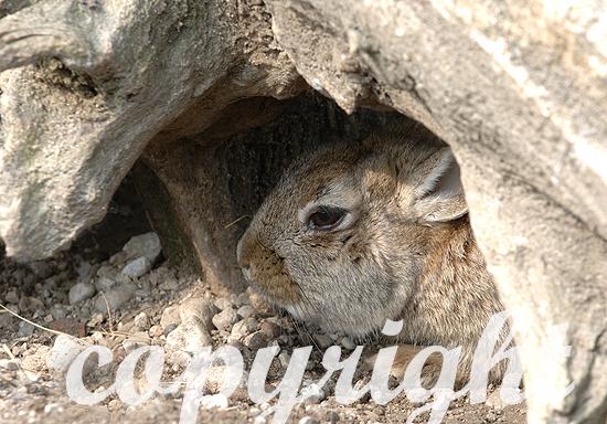 Wildkaninchen - Oryctolagus cuniculus