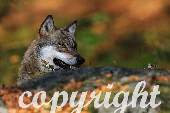 Europäischer Wolf auf der Pirsch
