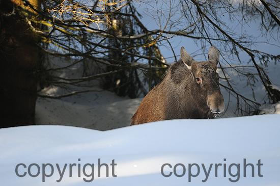 Elch im Tiefschnee
