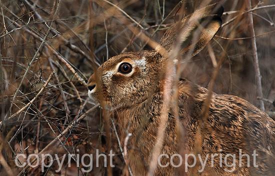 Hase -  Lepus europaeus Pallas