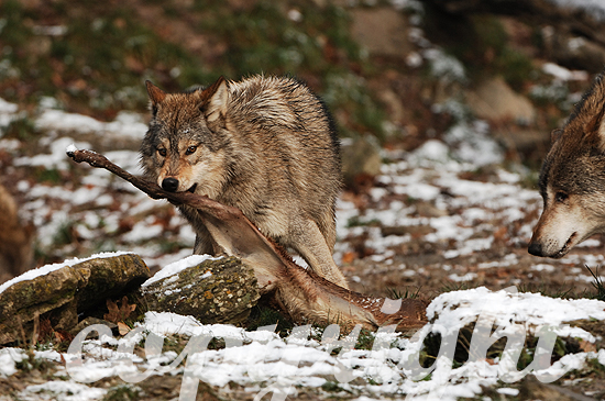 Der Timberwolf  - Canis lupus lycaon