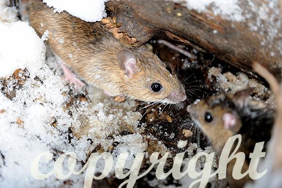 Feldmaus im Winter im Schnee