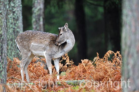 Damwild-Schaufler zur Brunftzeit im herbstlichen Wald