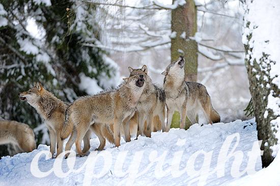 Wölfe im tiefen Winterschnee