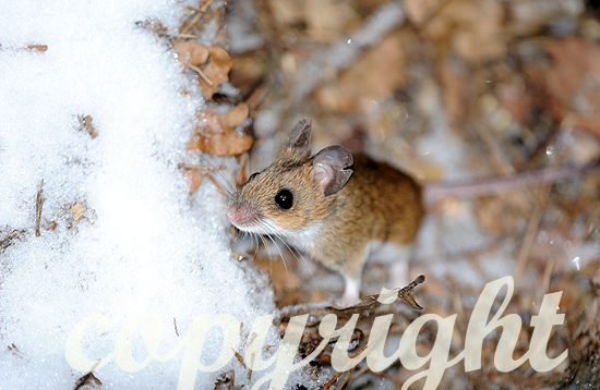 Feldmaus im winterlichen Laub