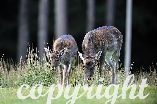 Weibliches Damwild zur Brunftzeit im herbstlichen Wald