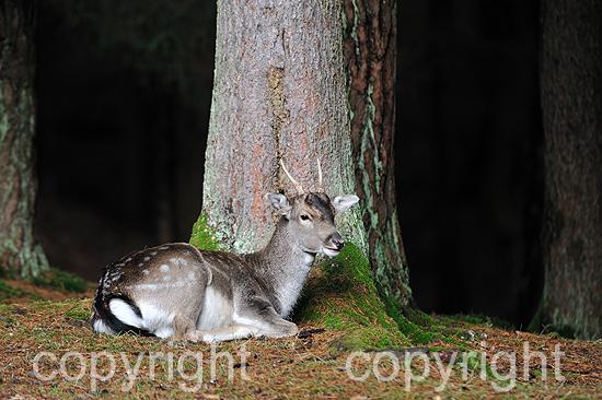 Damwild-Spießer zur Brunftzeit im herbstlichen Wald