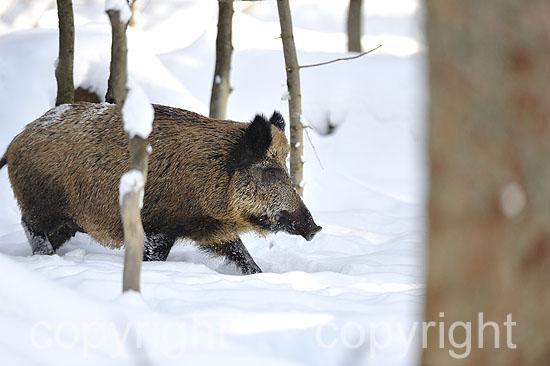 Wildschweine in der Rauschzeit im verschneiten Fichtenwald, Saue
