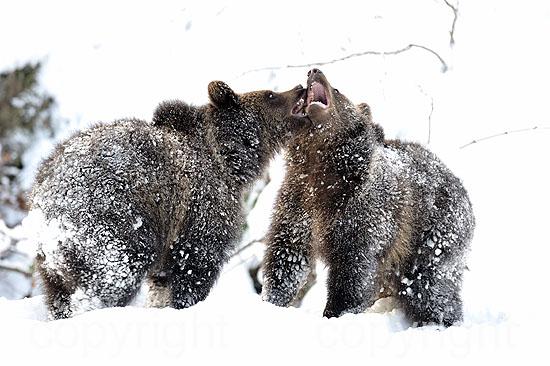 Junge Braunbären im ersten Neuschnee vor dem Wintereinbruch, im