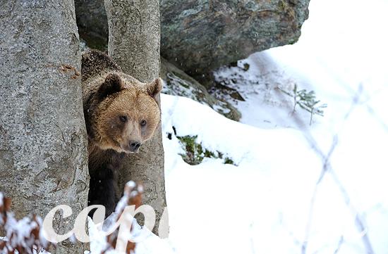 Erwachsene Braunbären-Weibchen im ersten Neuschnee vor dem Wint