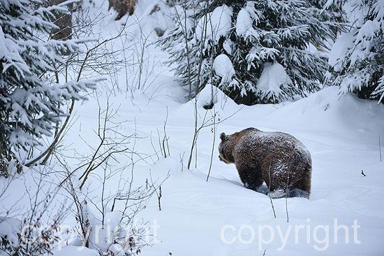 Mächtiges altes Braunbären-Männchen im ersten Neuschnee vor d