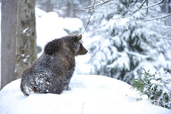 Braunbären im ersten Neuschnee vor dem Wintereinbruch