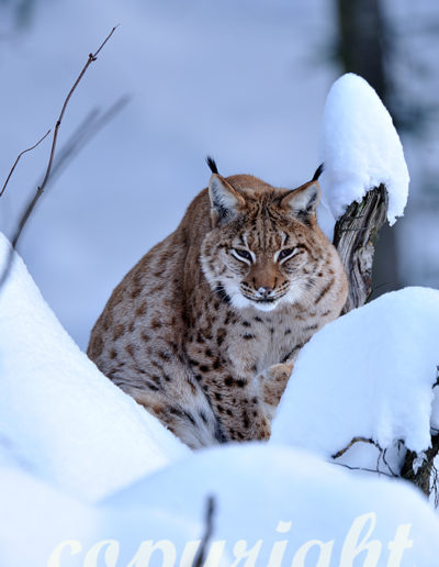Luchs auf der Pirsch im Neuschnee, Winteranfang