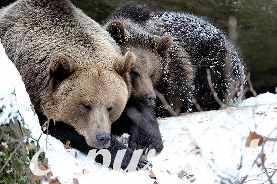 Braunbären im ersten Neuschnee vor dem Wintereinbruch, Braunbä