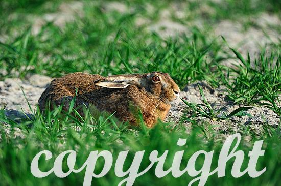 Sich duckender Feldhase im taunassen Gras am frühen Morgen.