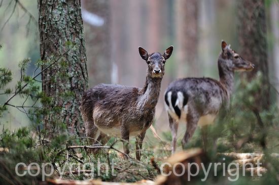 Weibliches  Damwild im tiefen Forst im April