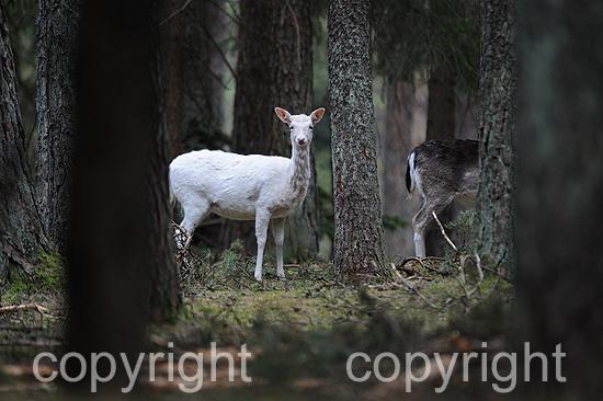 Weibliches weißes Damwild im tiefen Forst im April