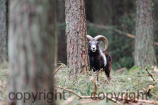Mufflon-Widder im tiefen Forst im April