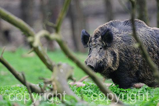 Kapitaler Wildschwein-Keiler im Fellwechsel im April