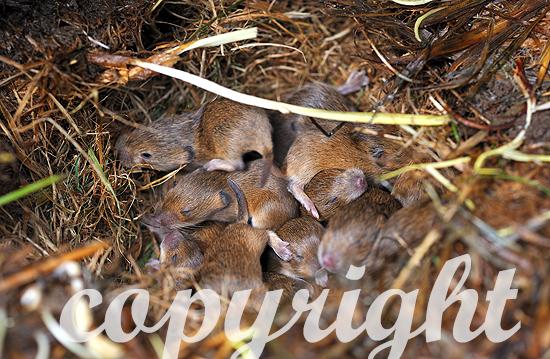 Jungmäuse im Nest