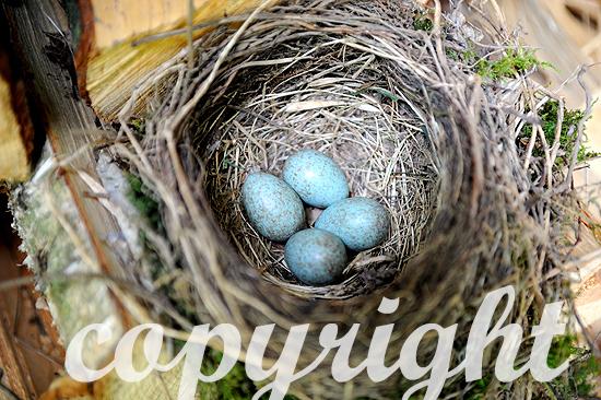 Amselnest mit Eiern
