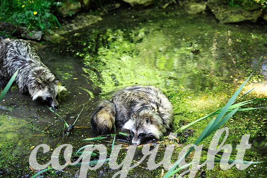 Marderhunde im Wasser