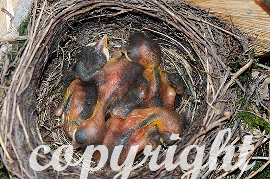 Junge Amsel-Nestlinge