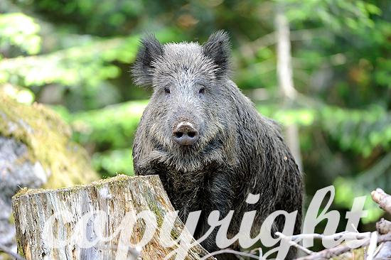 Wildschwein im Sommerwald
