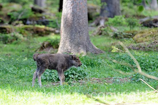 Wisent äst im Sommer-Wald