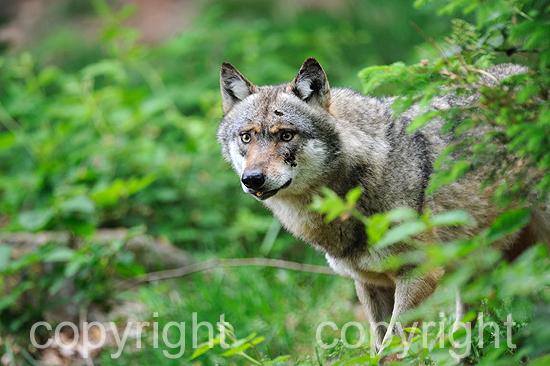 Europäischer Wolf in einer Waldlandschaft